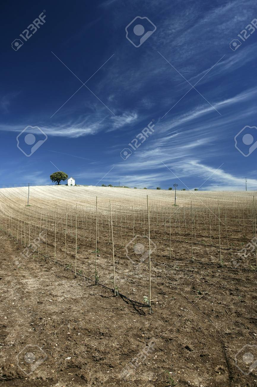 hilltop vineyard in hot summer day with deep blue sky Stock Photo - 3114395