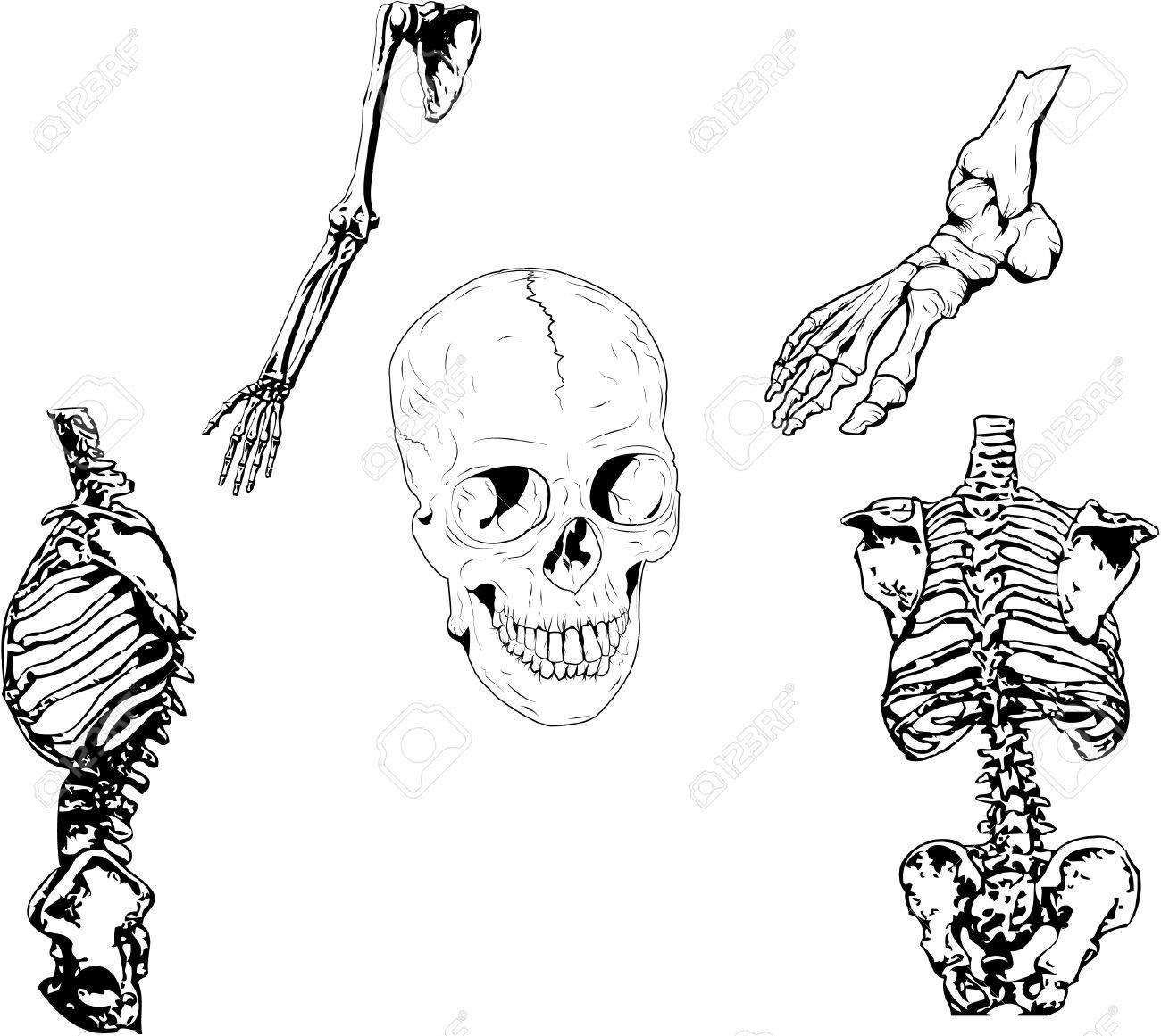 Set Of Vector Illustration. 5 Different Parts Of A Skeleton ...