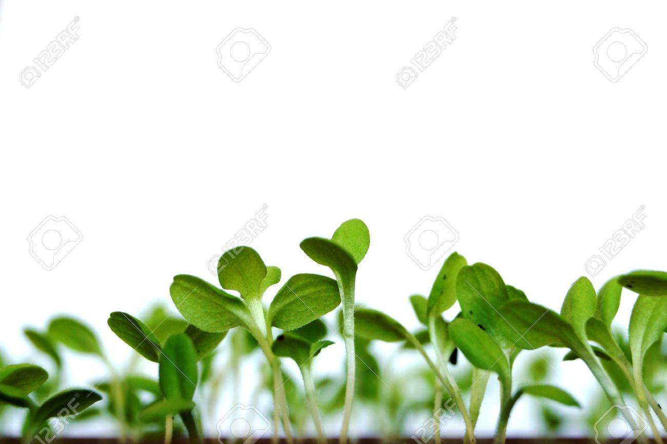 Young Green Shoots Of A Plant Of Salad In A Kitchen Garden On ...