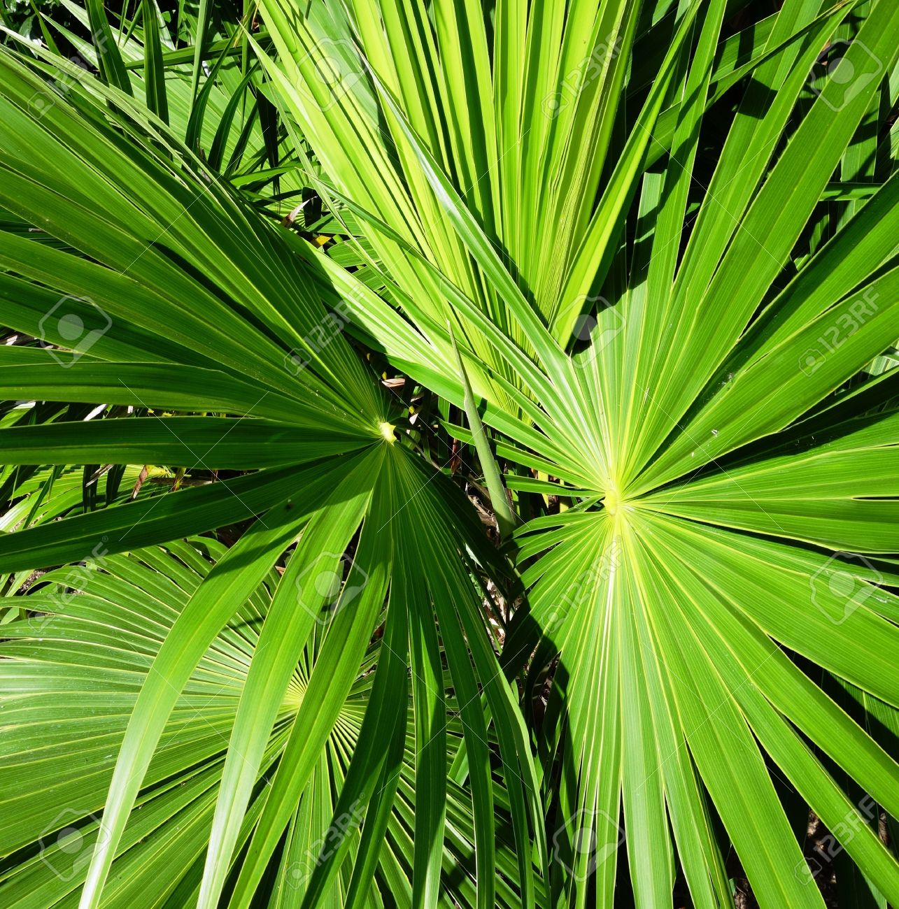Green Leaves Of Palm Trees And Tropical Plants Of The Big Size