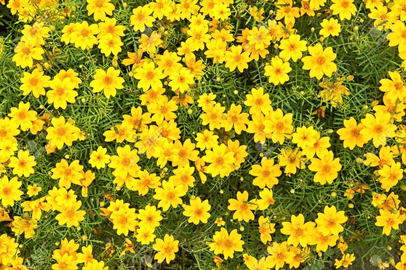 Lot Of Small Yellow Flowers With Green Small Stalks And Leaves Stock
