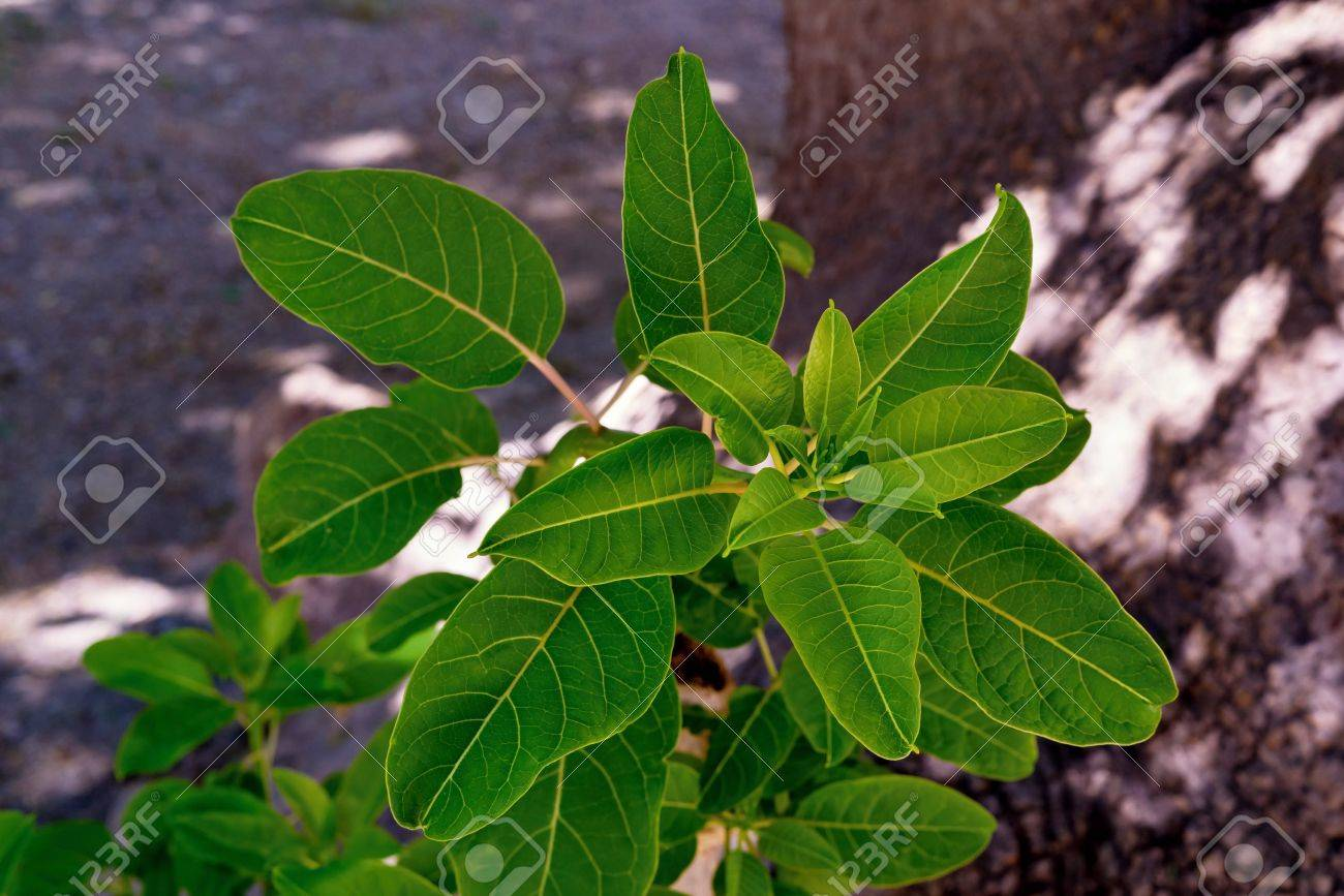 New Sprouts Of A Bush Of Brightly Green Color On An Indistinct ...