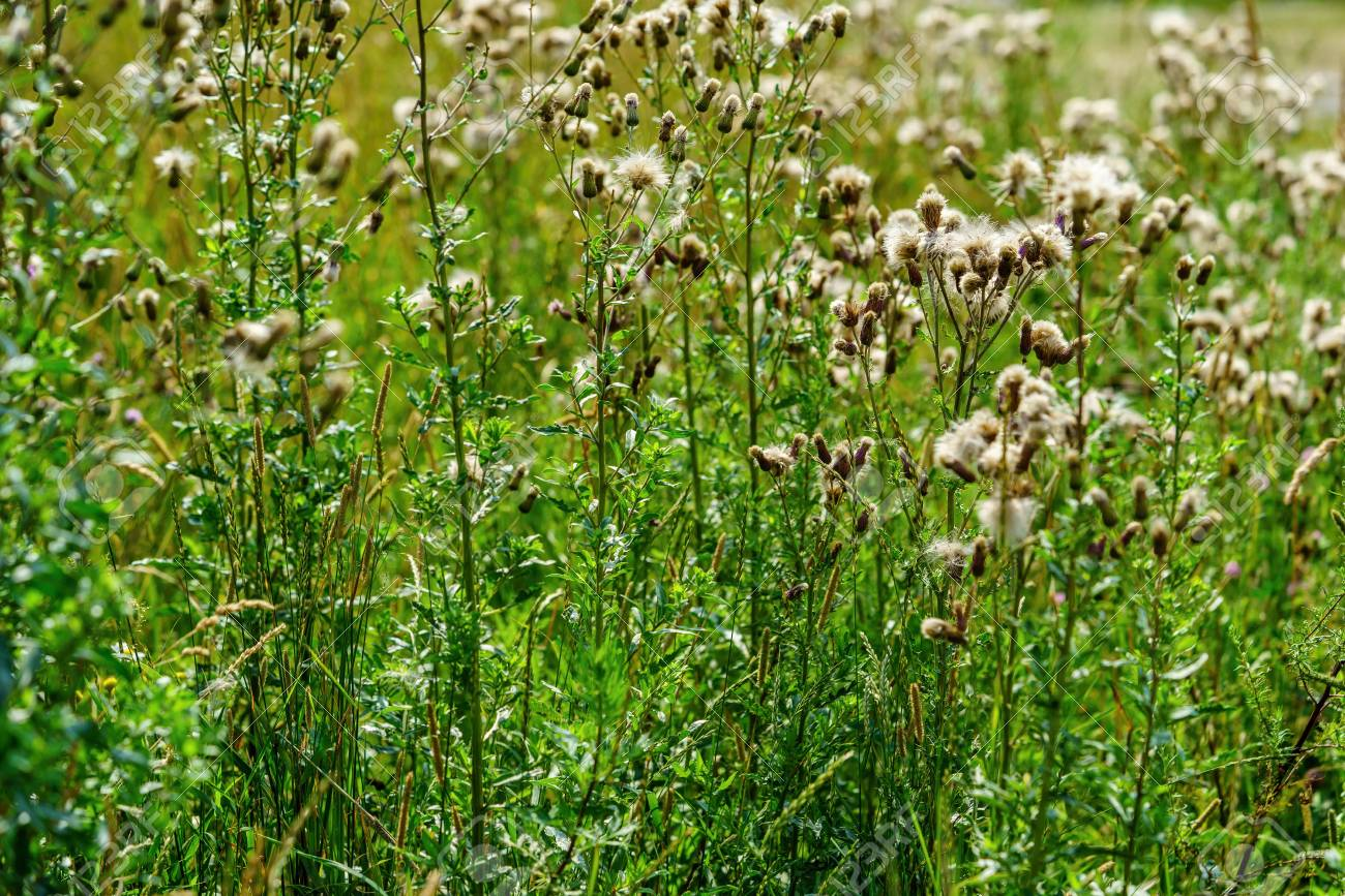 Wild Plants On Long Green Stalks With Fluffy White Flowers For