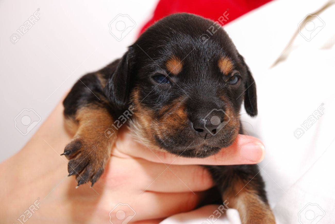 Black puppy Stock Photo - 2174674