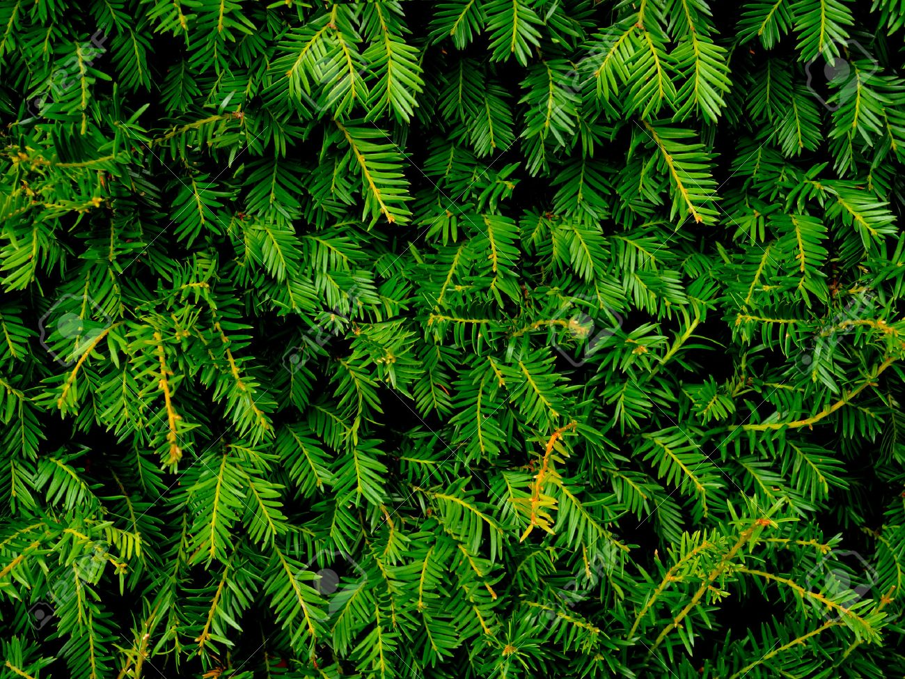 Close Up Of Christmas Pine Fir Tree Branches Background Stock