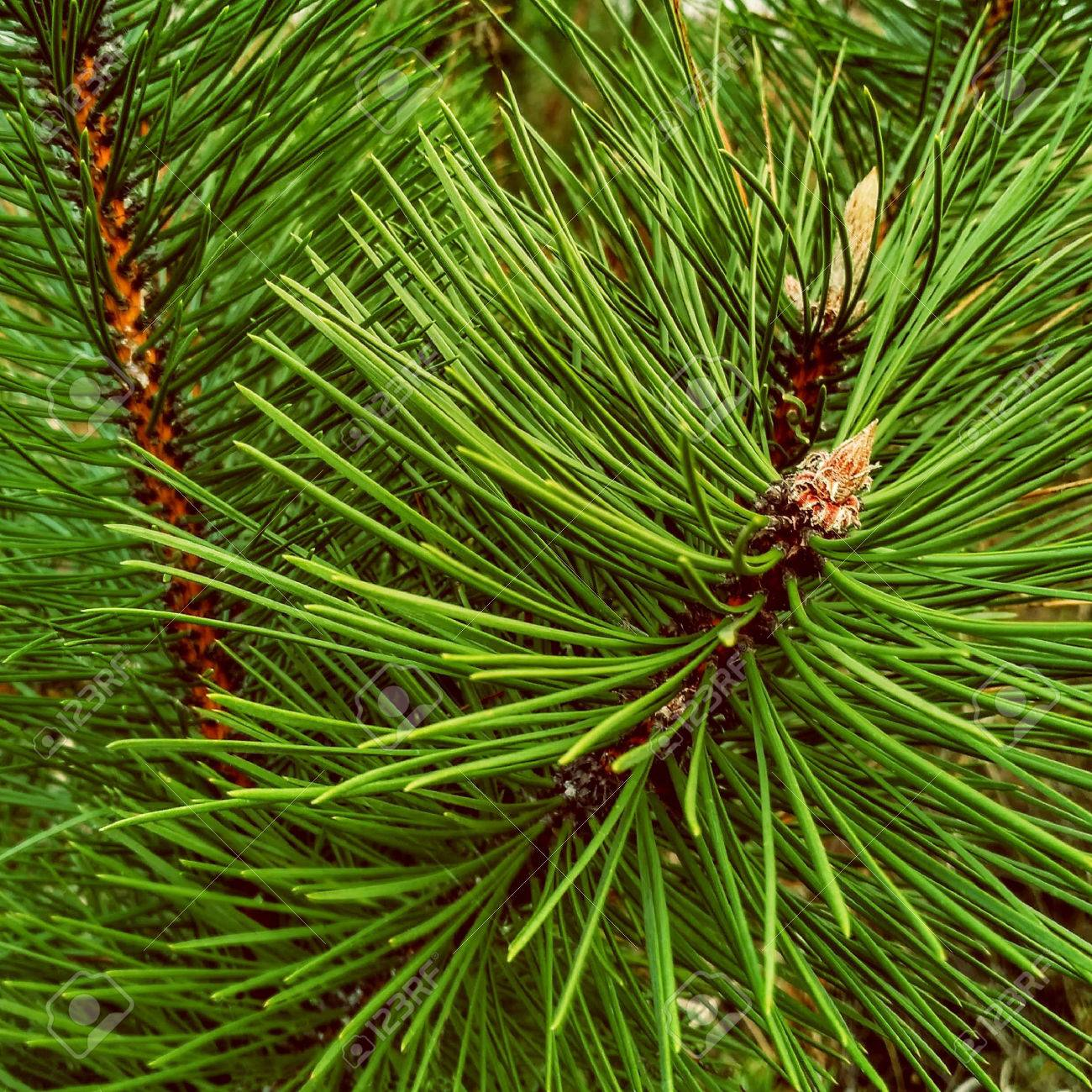 Close-up of Christmas pine fir tree branches background. Background of Christmas tree branches. - 63738845