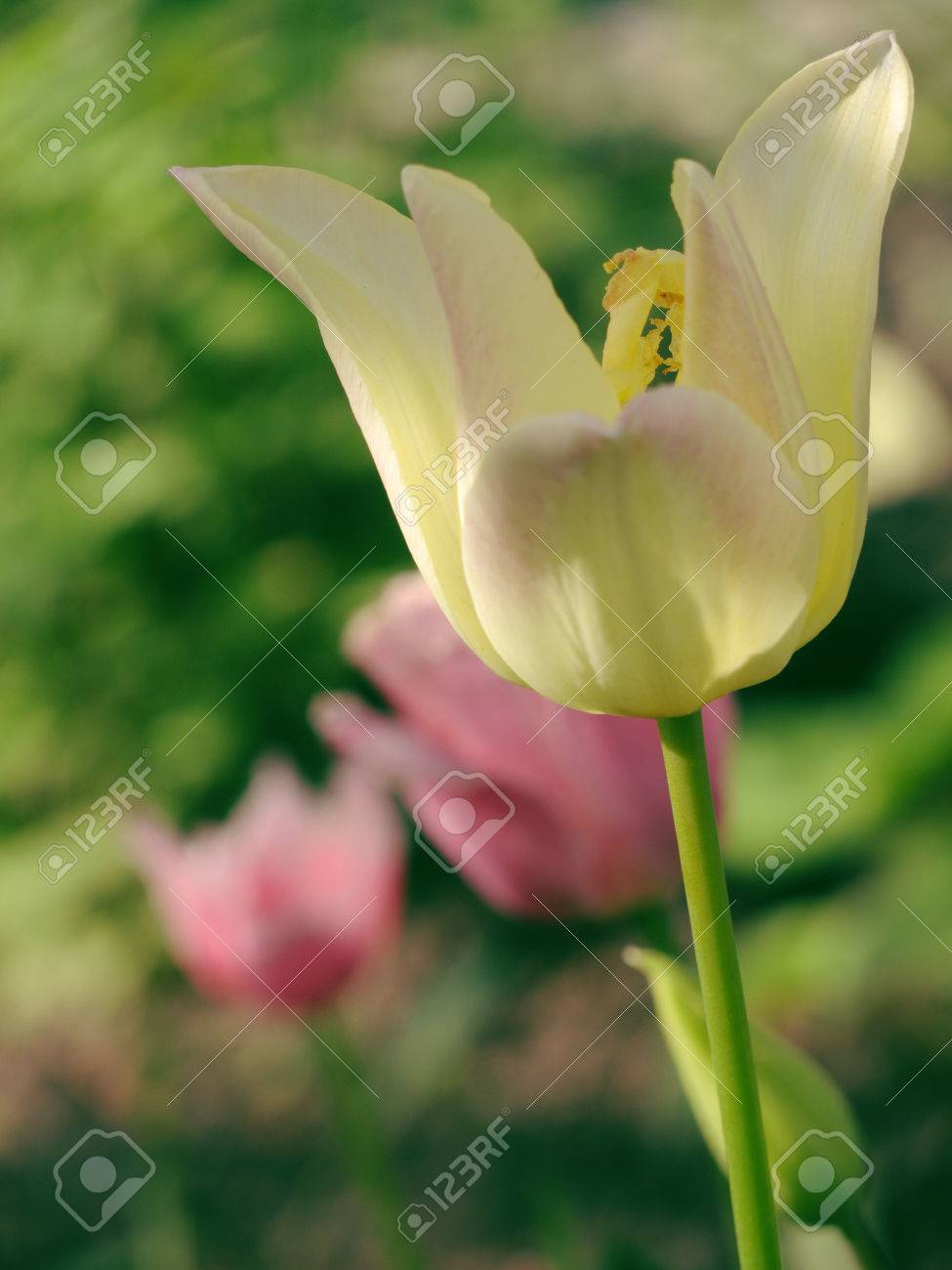 Beautiful spring floral background with tulips on grass background. - 75527845