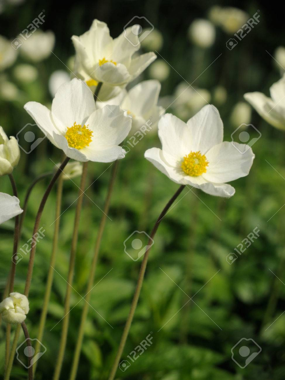 White spring flowers on green background. - 76650064