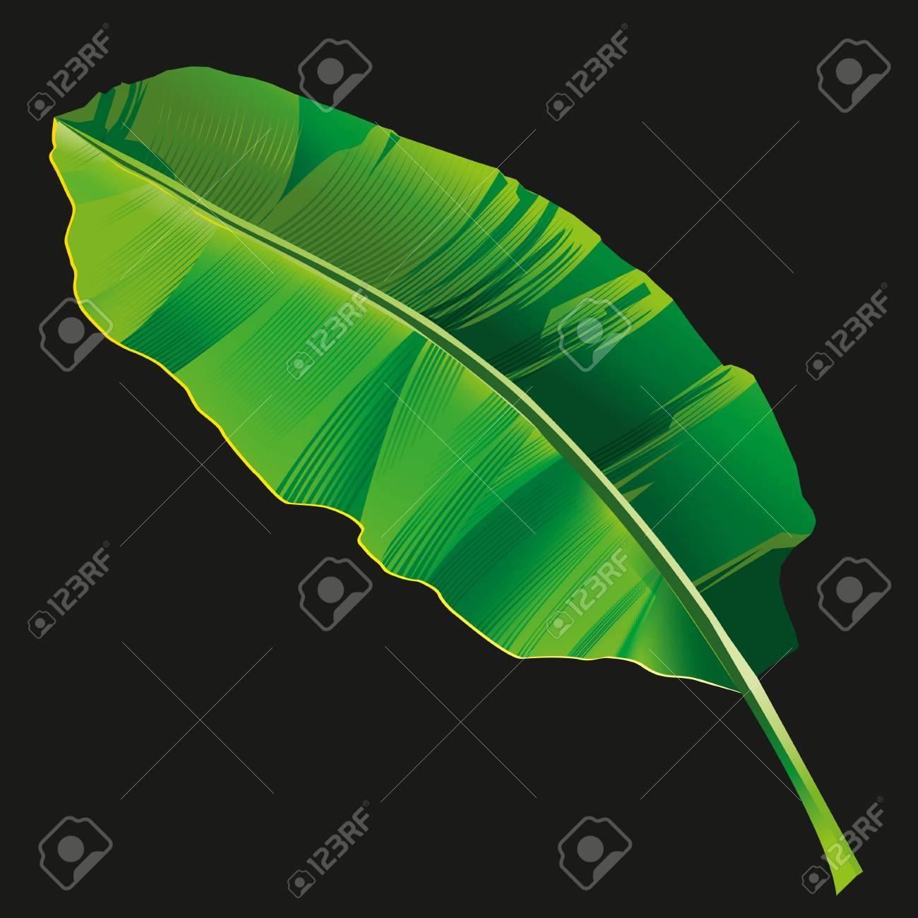 Banana leaf vector isolated on black background. - 80331094