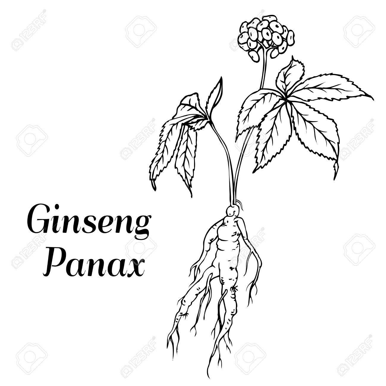 Raíz Y Las Hojas De Panax Ginseng. Vector Ilustración De La Vendimia ...