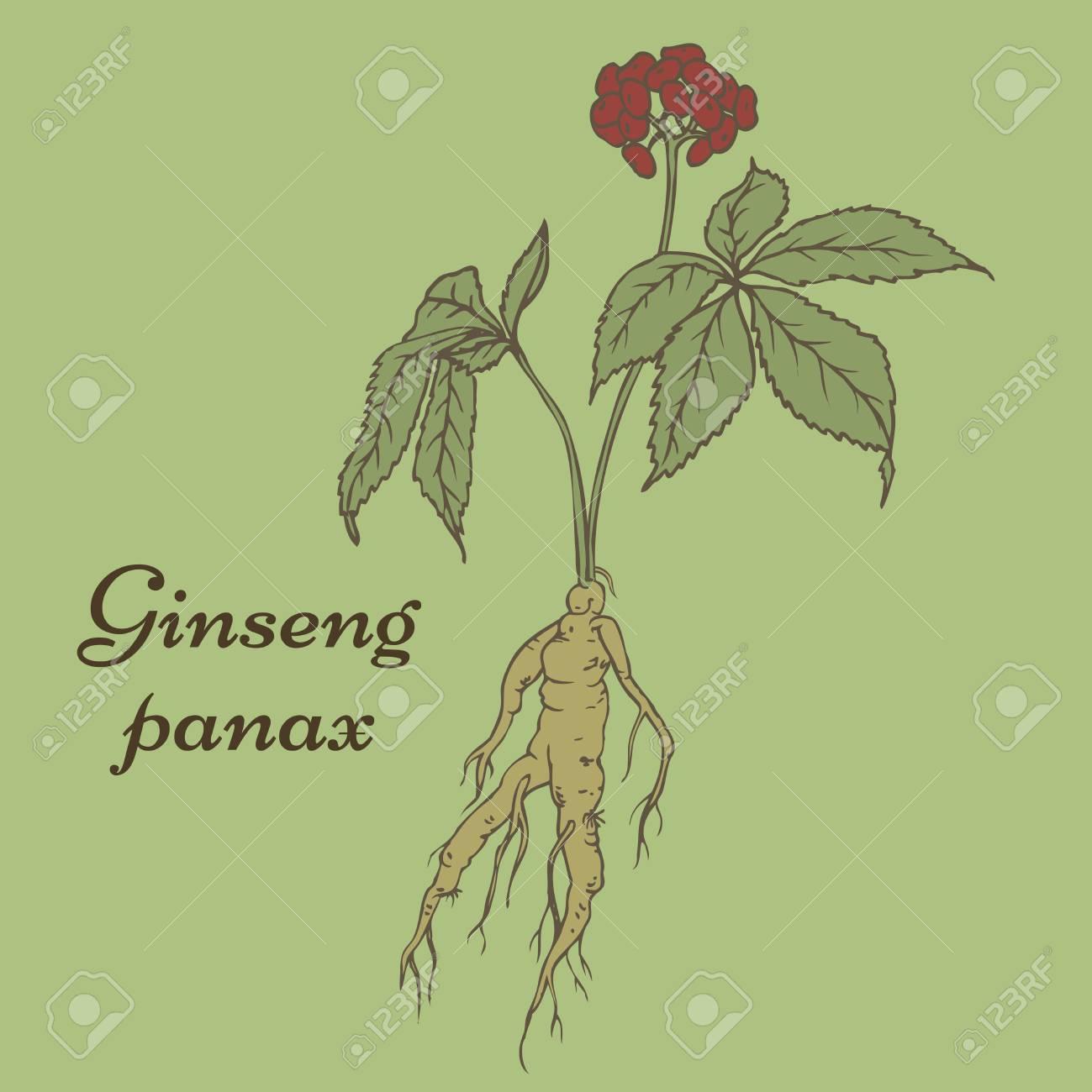 Raíz Y Las Hojas De Panax Ginseng. Ilustraciones Vectoriales, Clip ...