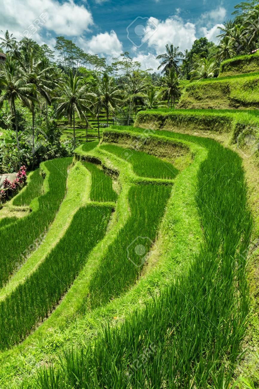 Plantación De Campo De Arroz En Cascada Verde En La Terraza De Tegalalang Bali Indonesia