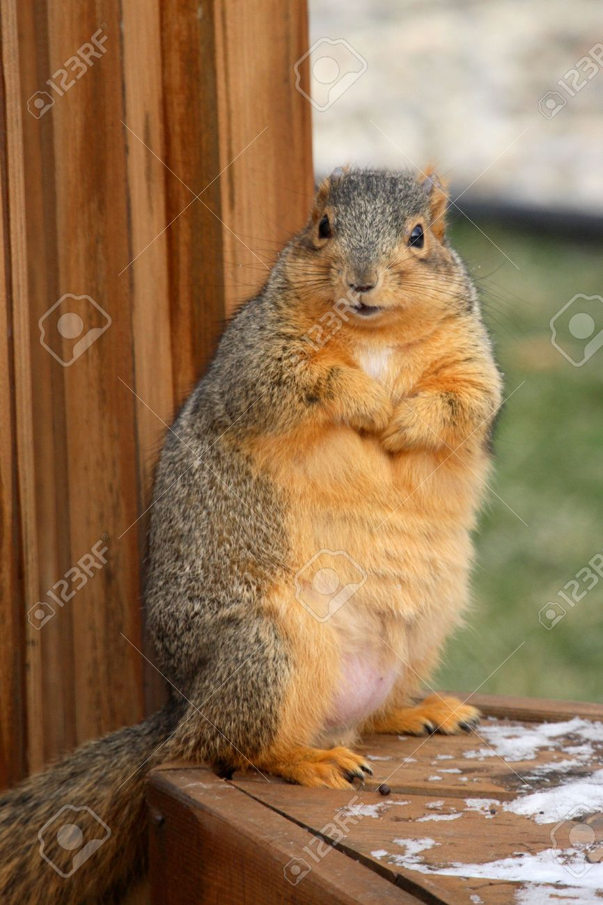 Chubby Squirrel Looking For A Hand Out Stock Photo Picture And Royalty Free Image Image 2983766 link it's pretty great that a squirrel prepares to hibernate itself during the wintertime, at least it's chubby. chubby squirrel looking for a hand out