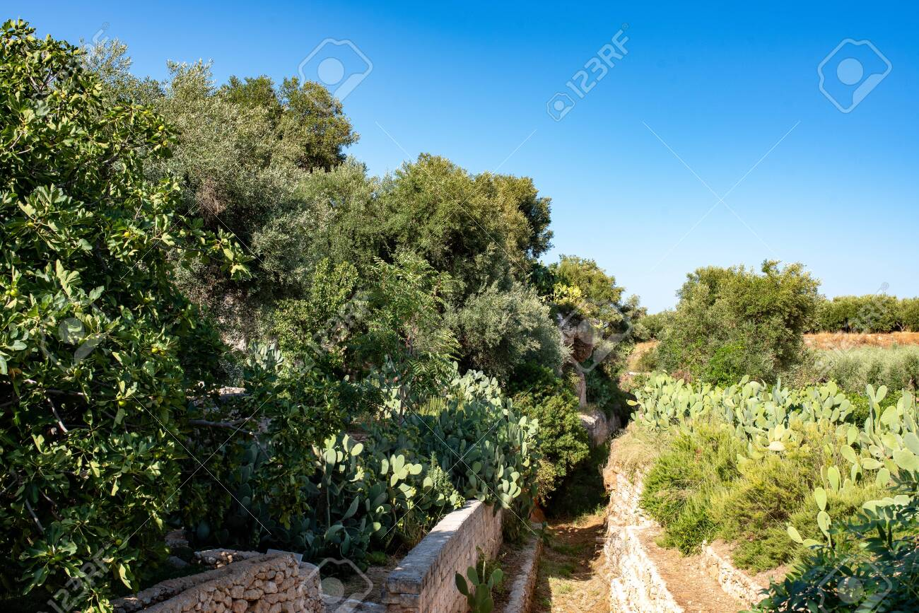 Typical Apulian Mediterranean Landscape With Olive And Fig Trees
