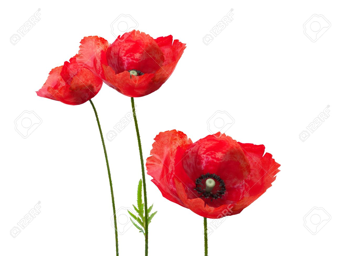 Poppy Flowers Stock Photos Royalty Free Poppy Flowers Images