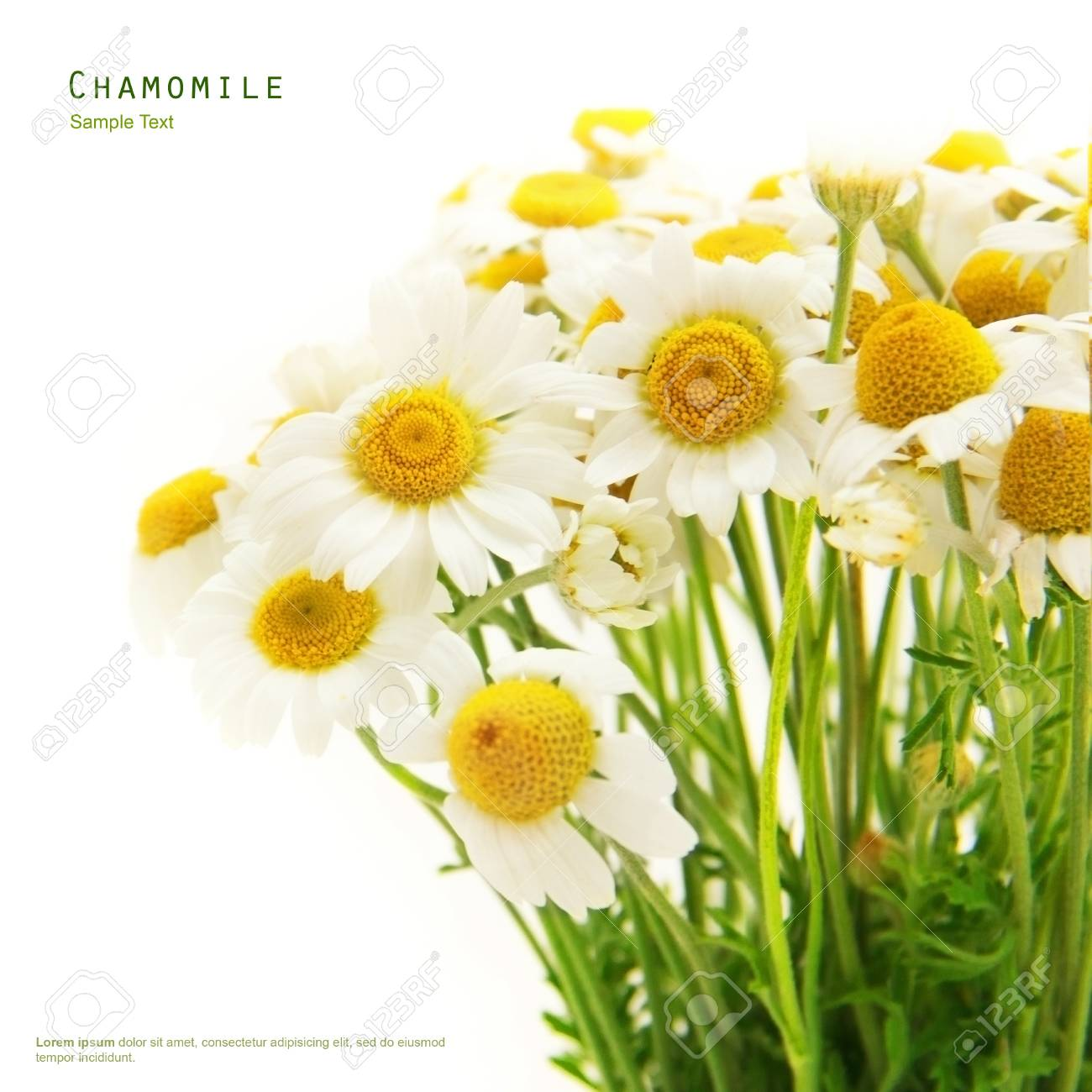 Chamomile flower bouquet herbal on a white background Stock Photo - 20270502
