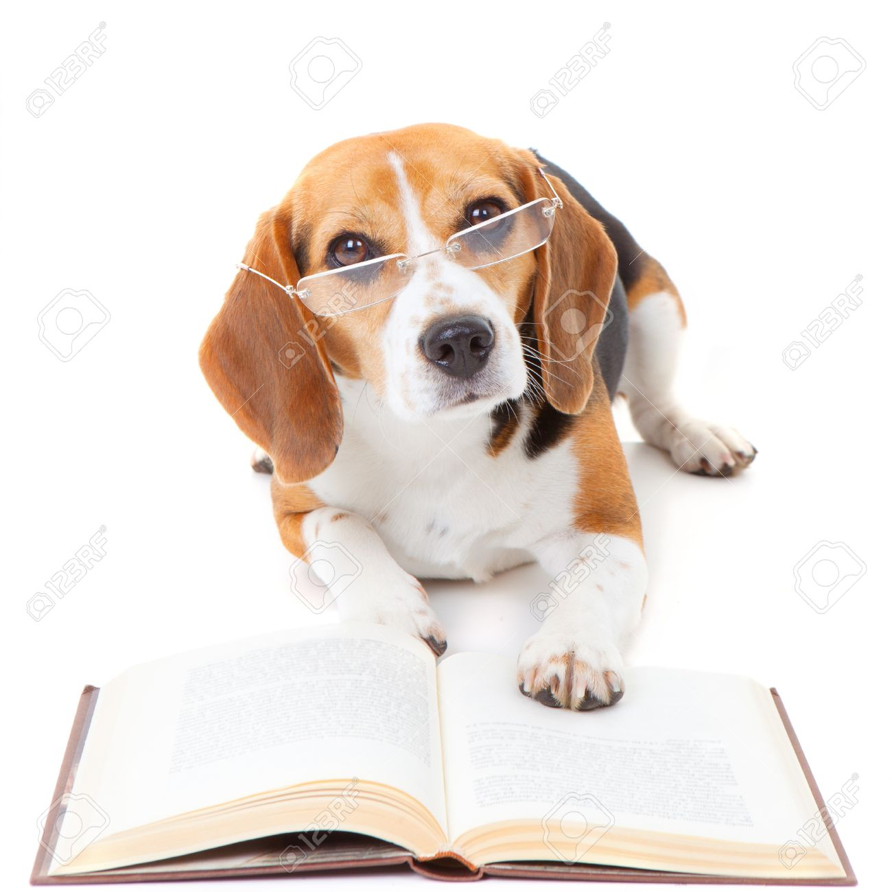 Dog Wearing Reading Glasses Beagle Dog Wearing Glasses