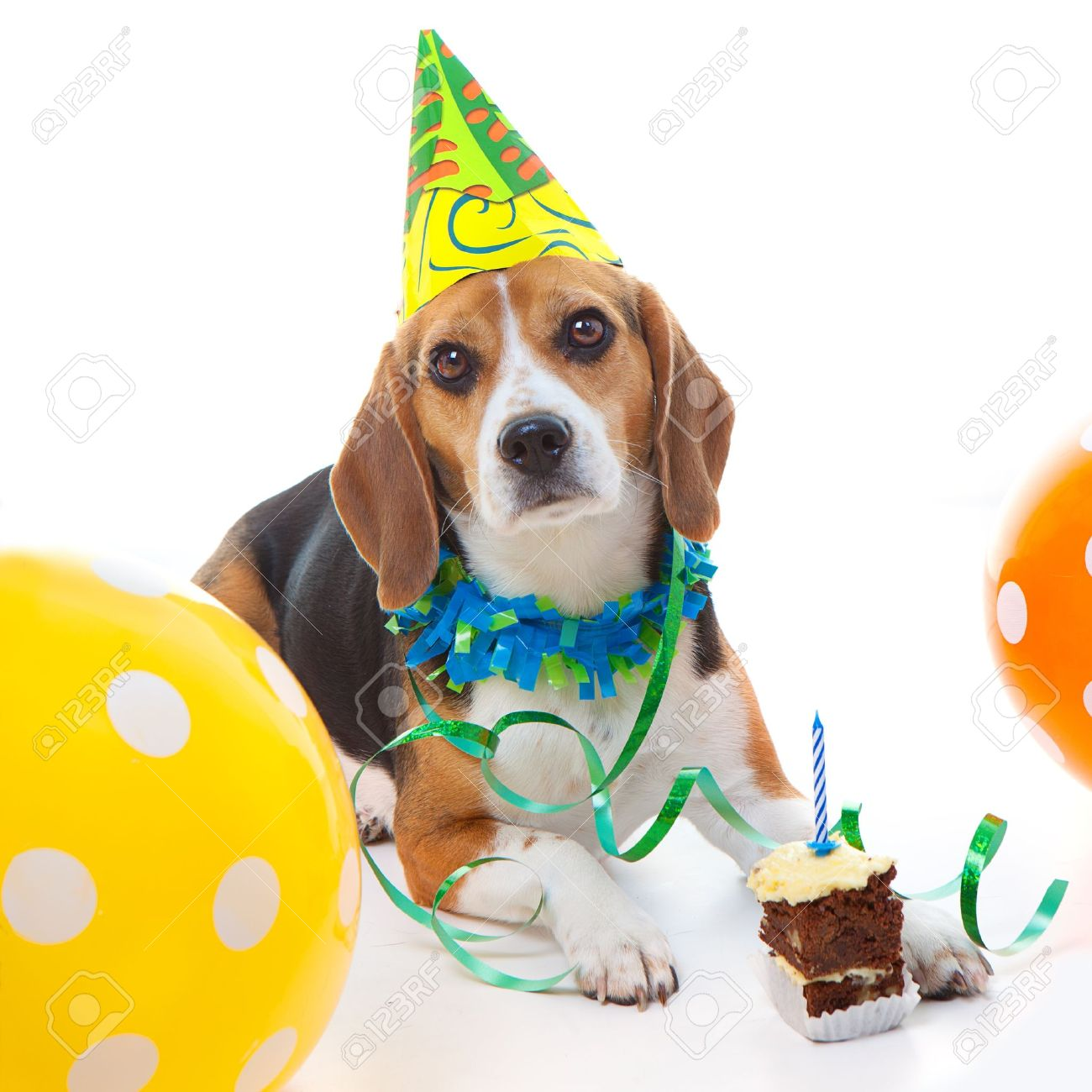Pet Beagle Dog First Birthday Party Celebration With Cake Hat And Balloons Stock Photo