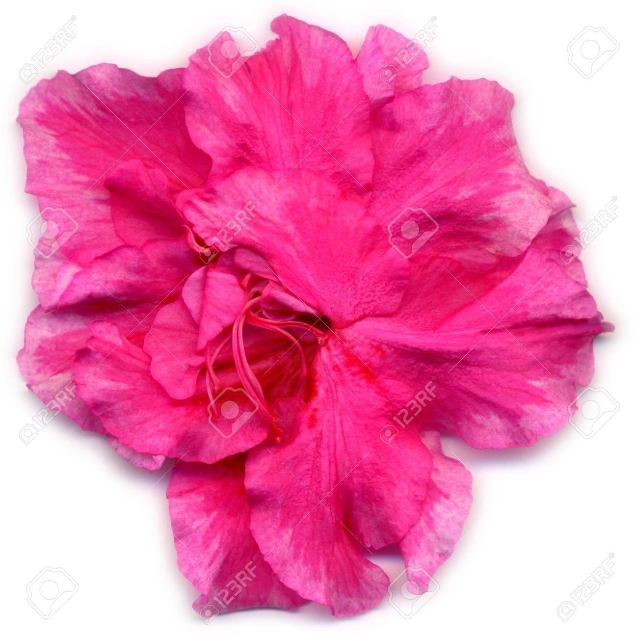 Une Fleur Rose D Une Des Plantes D Interieur De Simsii Rhododendron