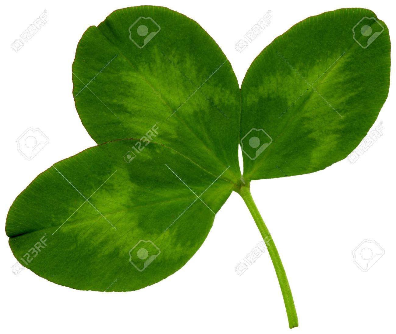 Very large clover leaf in spring on white background, exempt, 2400 dpi scan, no interpolated magnification Stock Photo - 17903741
