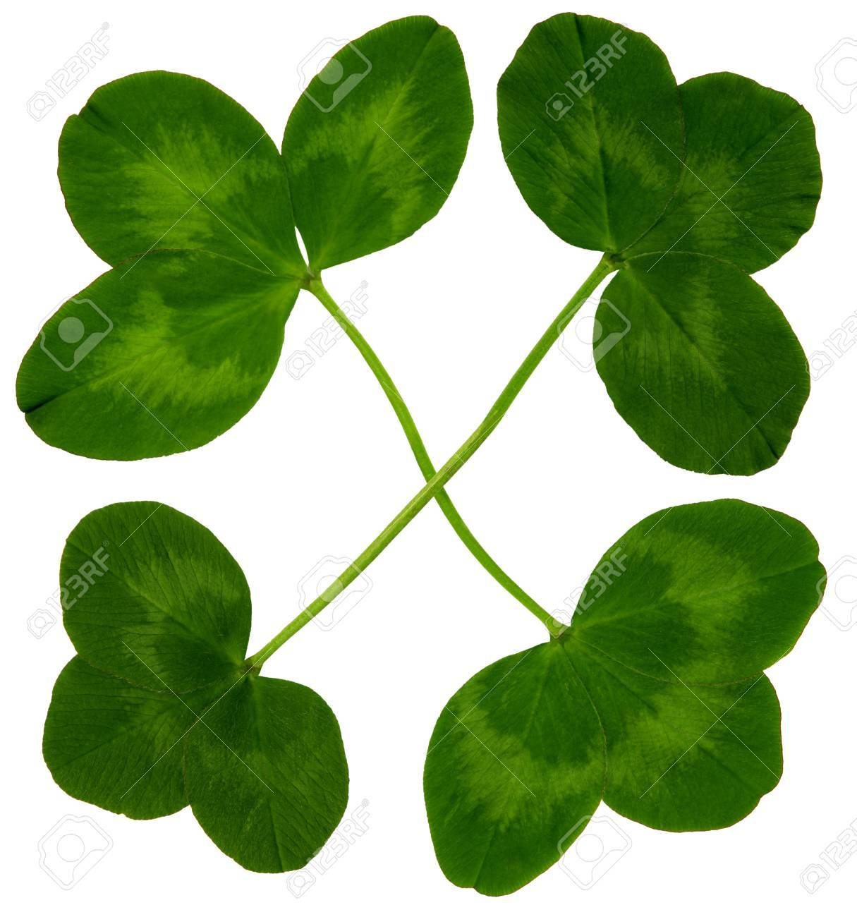 Figure of four large clover leaves in spring on white background, exempt, 2400 dpi scan, no interpolated magnification Stock Photo - 17903838