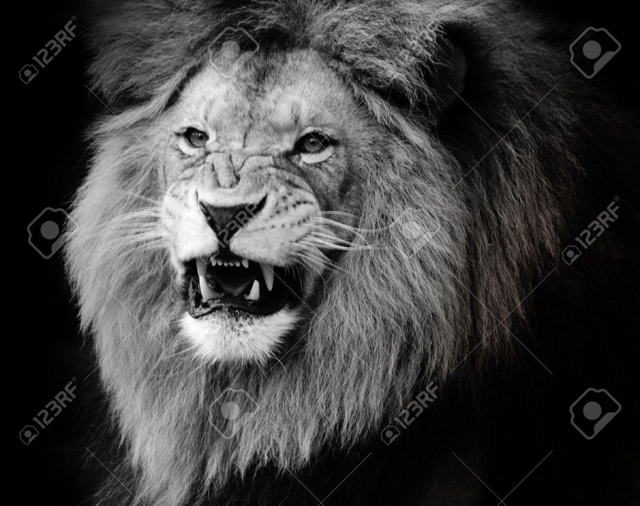 Extrêmement Wild Lion Portrait En Noir Et Blanc. Banque D'Images Et Photos  UJ46
