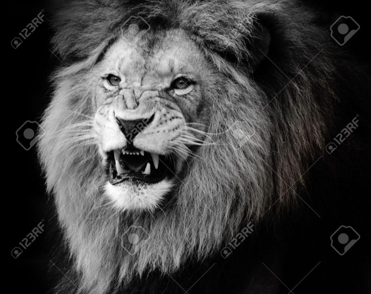 Stock photo wild lion portrait in black and white