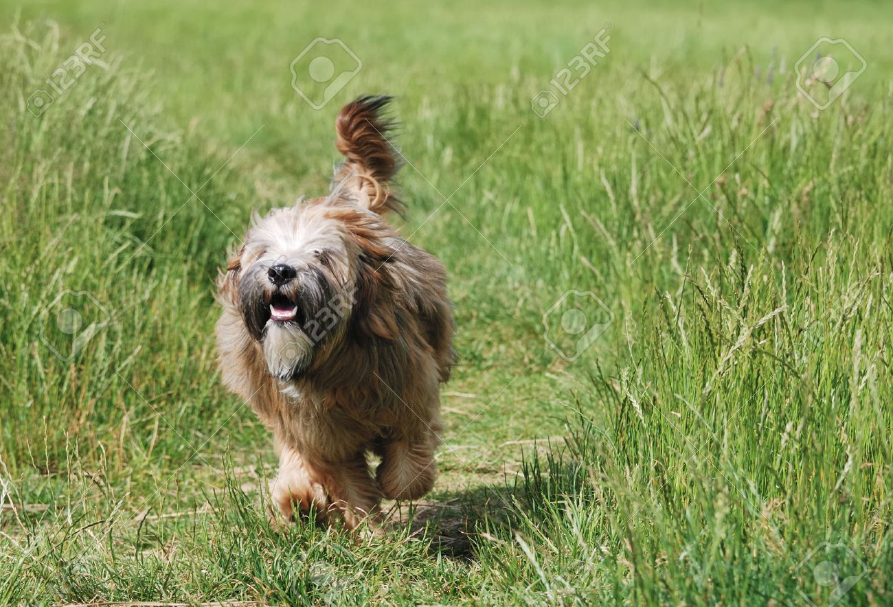 Young brown tibetan terrier puppy Stock Photo - 3330907