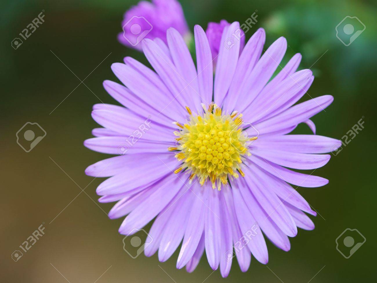 closeup of a purple aster flower stock photo, picture and royalty, Natural flower