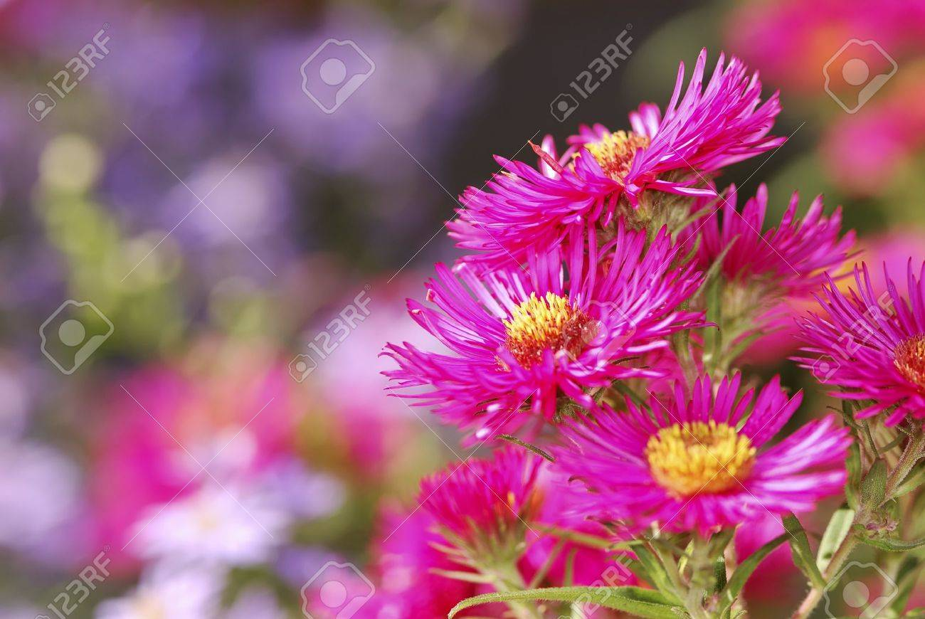 Aster Flowers In The Garden Stock Photo   8530121
