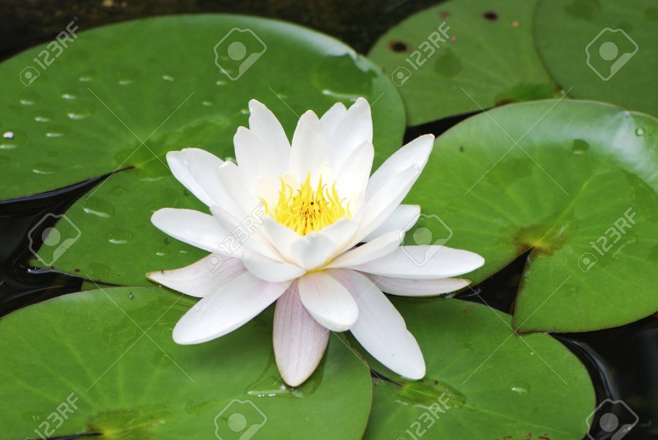 Macro Of A Lotus Flower Stock Photo Picture And Royalty Free Image