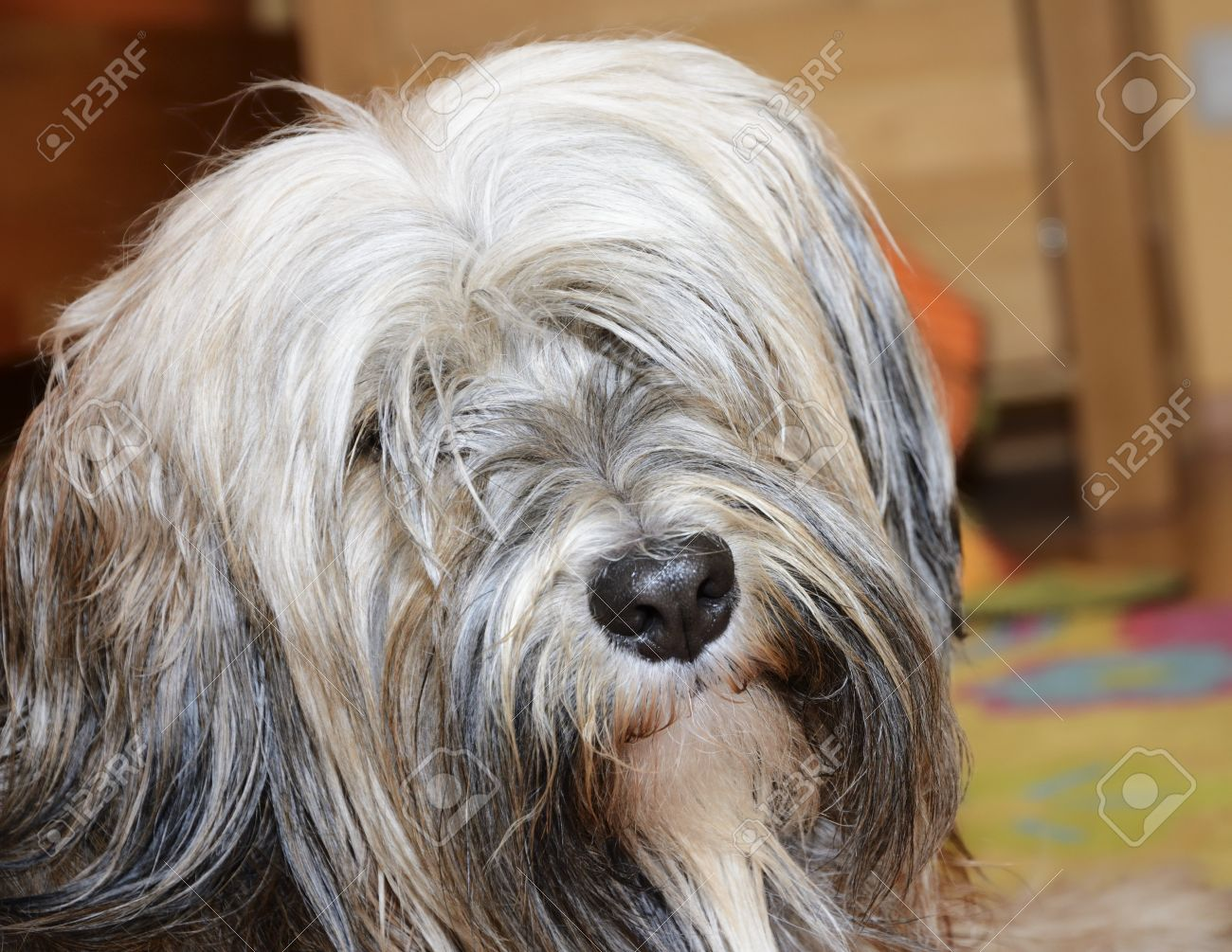 Long Haired Brown Tibetan Terrier Dog Stock Photo Picture And