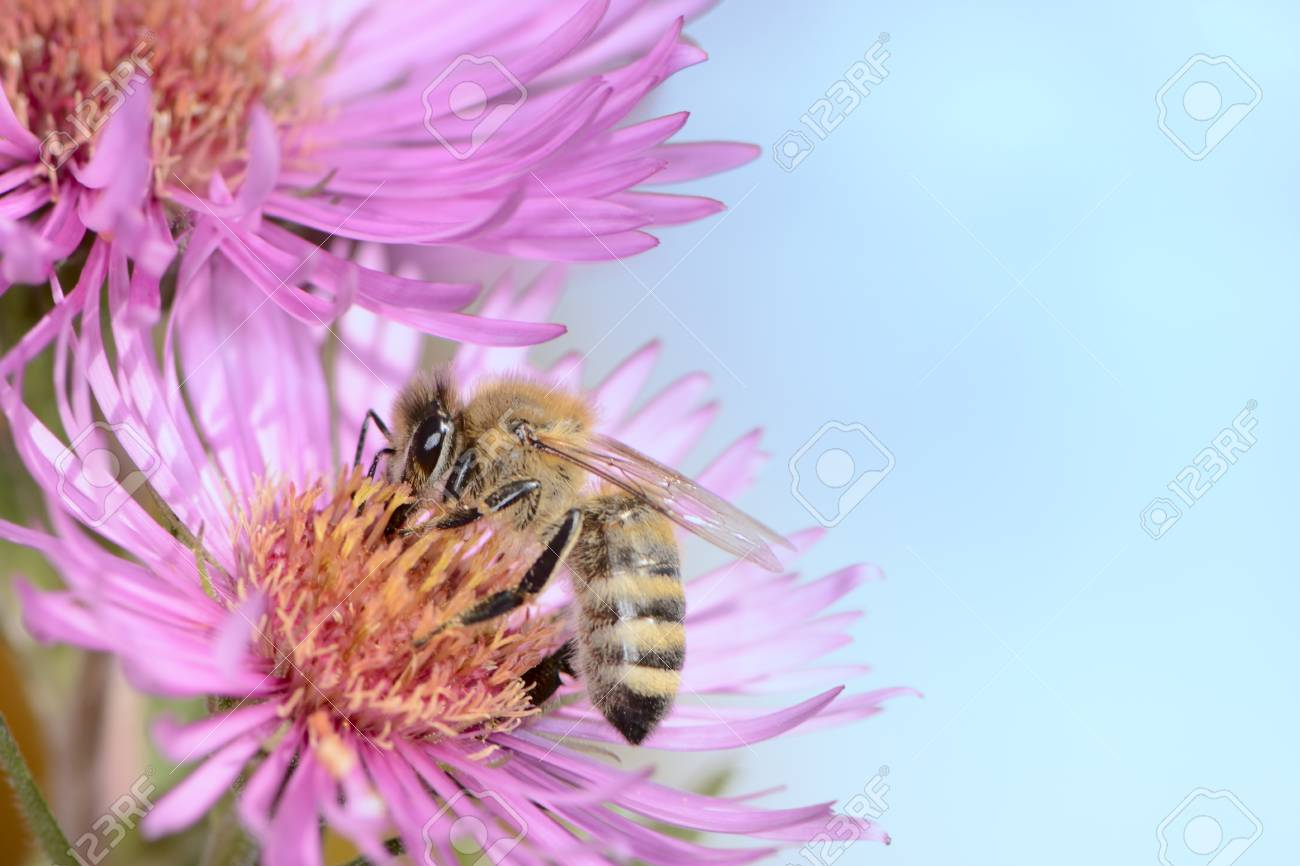 Bee collectin pollen on a pink aster flower Stock Photo - 25238073