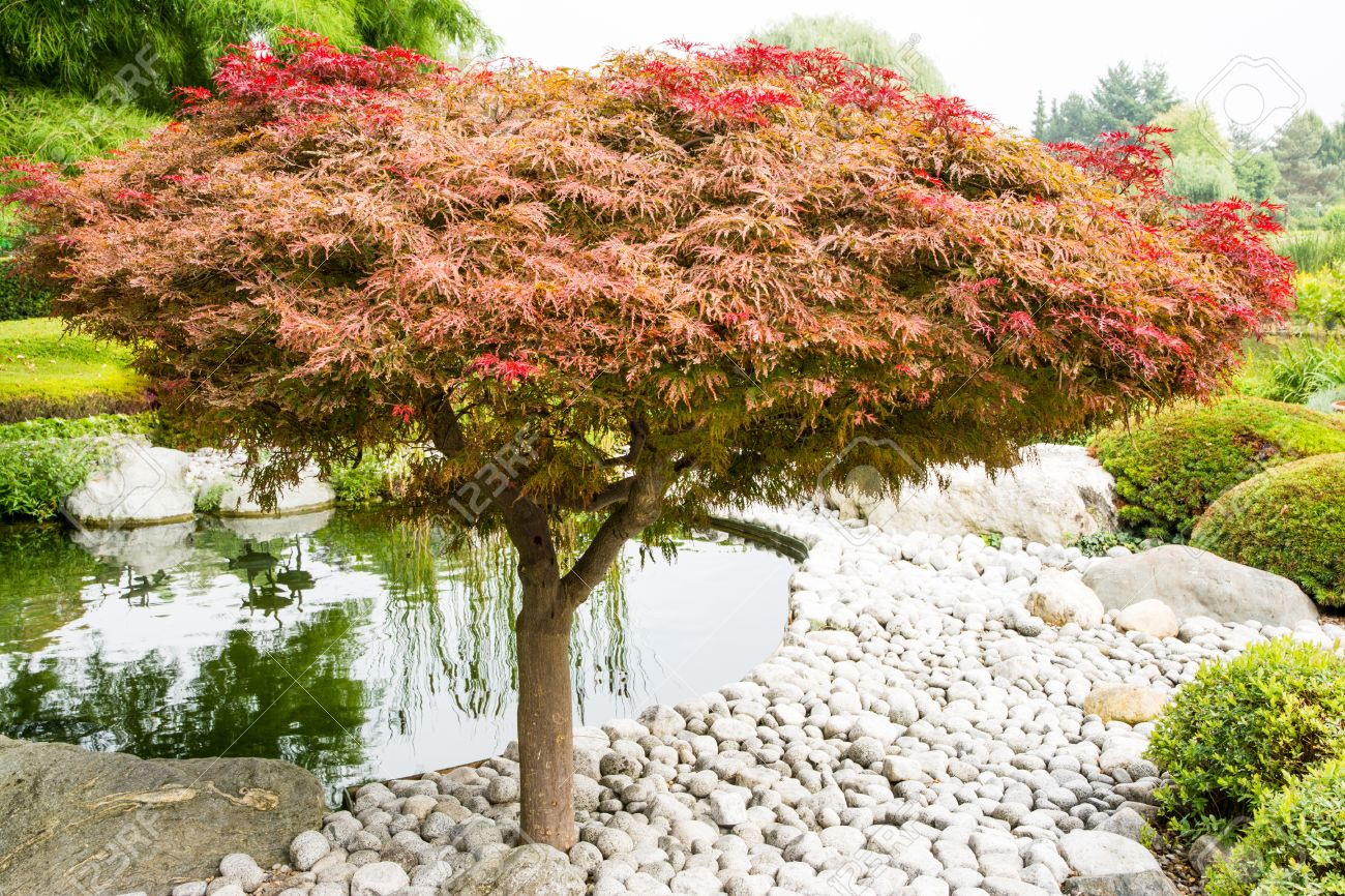 Japanese Maple Acer Palmatum Dissectum Tree In A Japanese Garden