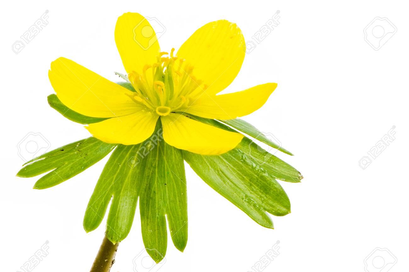 Fleur Jaune Isolee De Fleur D Aconit Hiver Eranthis Hyemalis