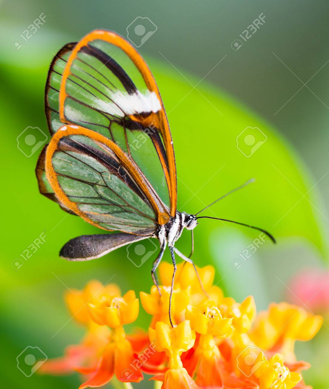 Maco Of A Glasswinged Butterfly Greta Oto On A Flower Stock Photo