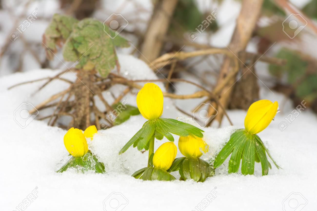 Closeup Of Yellow Winter Aconite Flowers In The Snow Stock Photo
