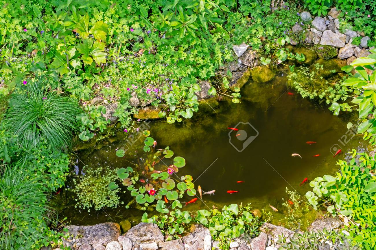 Garden pond with gold fisches, water lilly and other aquatic..
