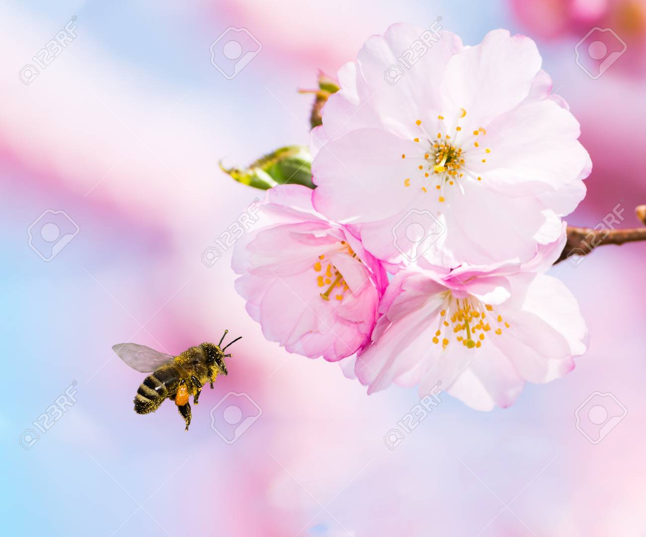 Bee full of pollen flying to pink cherry blossoms - 116246995