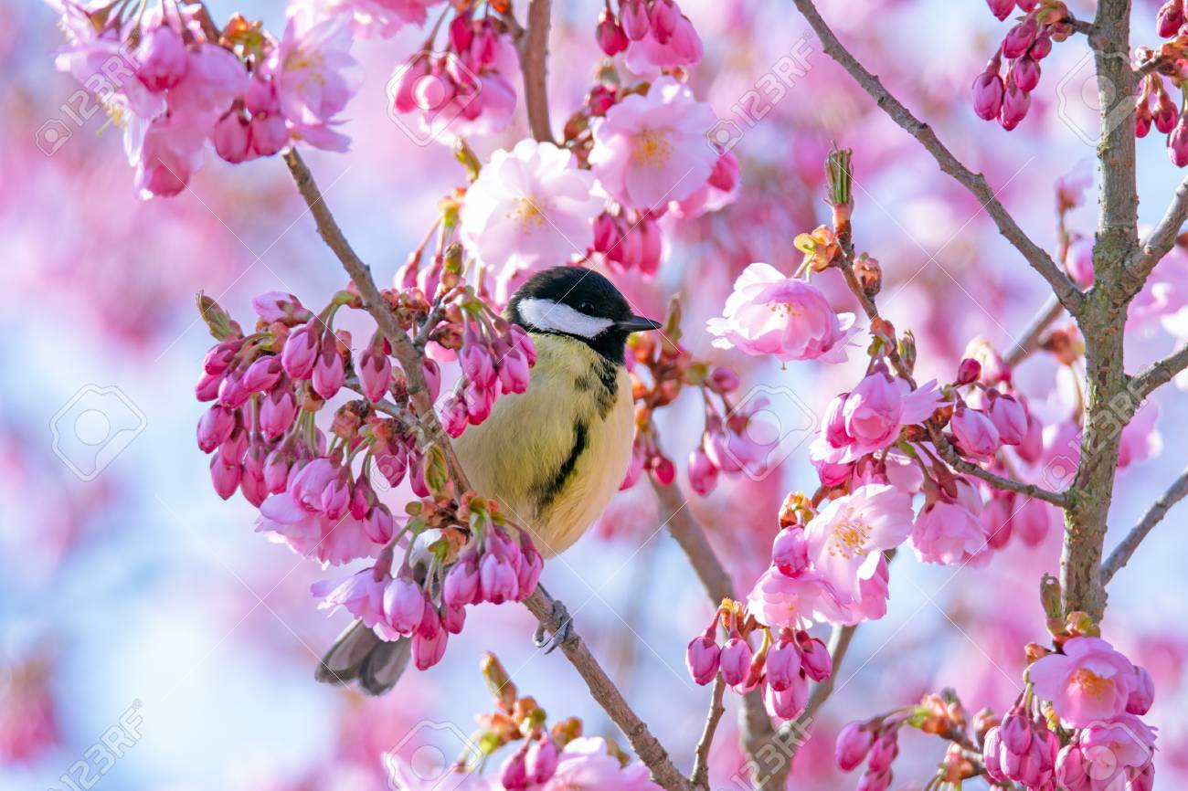 Great Tit Bird Sitting In A Pink Flowering Cherry Tree Stock Photo