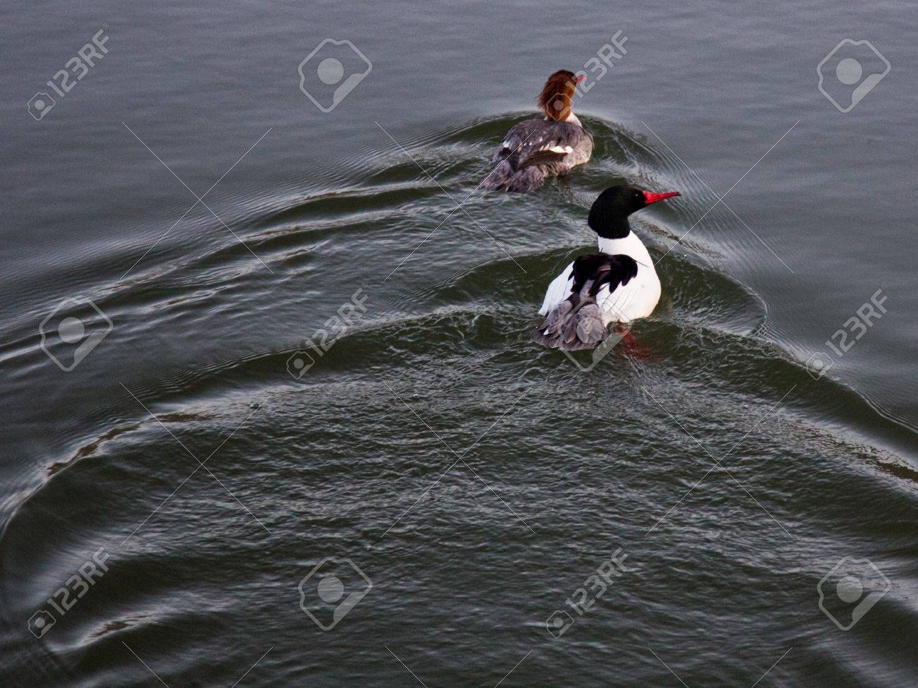 Two ducks in the Bow River Alberta Canada Stock Photo - 18425035