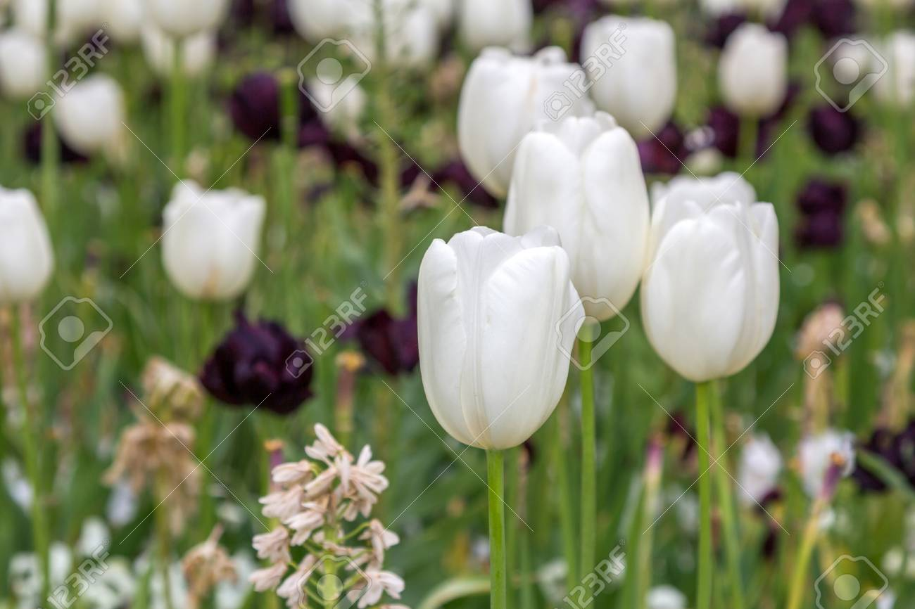 Beautiful White Tulips Flowers Stock Photo Picture And Royalty Free