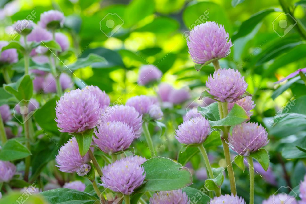 Globe Amaranth Bachelor Button Tropical Flower In Spring Season