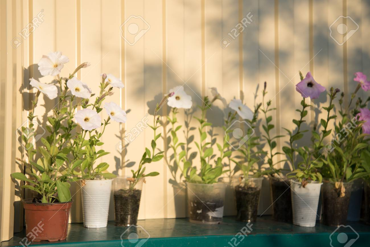 Purple And White Colored Flowers Potted And Prepared For Gardening