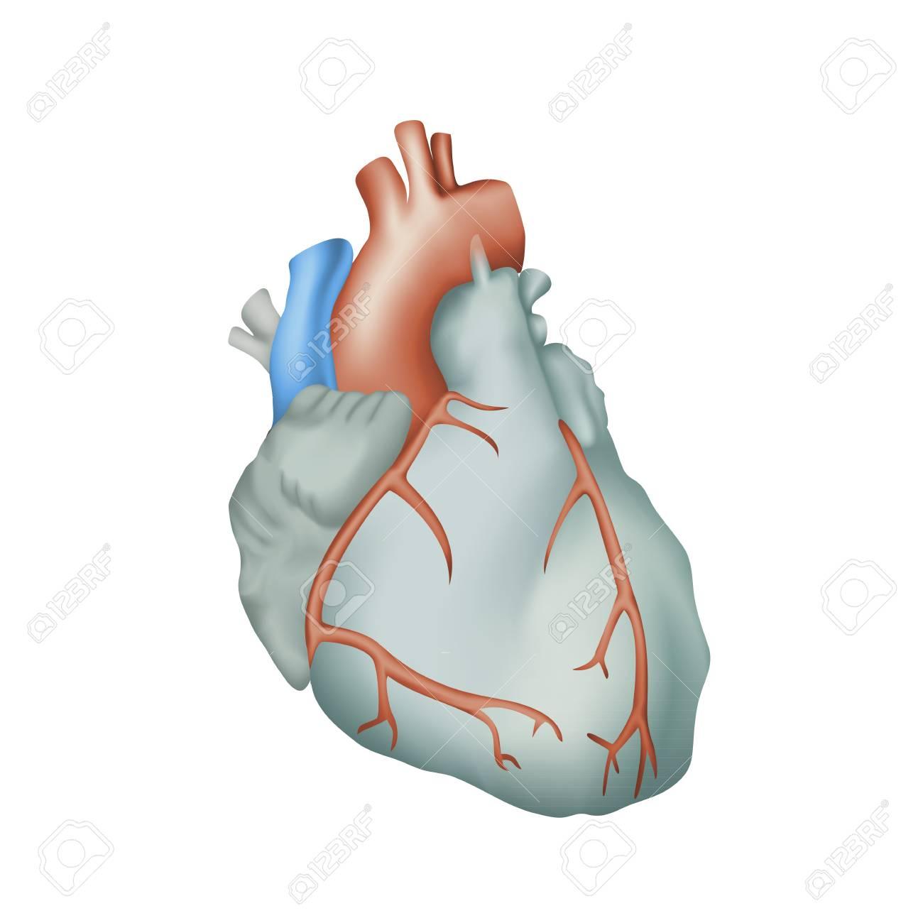 Human Heart. Anatomy Illustration. Colorful Image, White Background ...