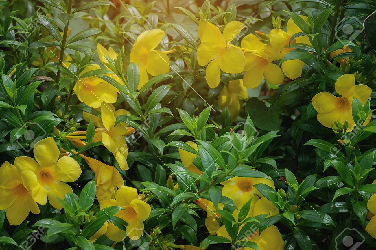 Golden Trumpet Flowers Allamanda Cathartica L Yellow Bell