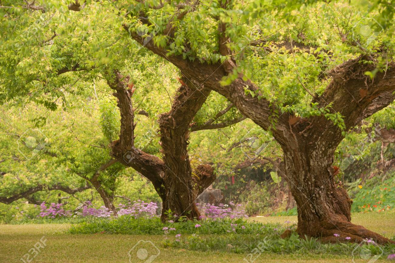 Plum Tree Garden. Stock Photo, Picture And Royalty Free Image. Image ...
