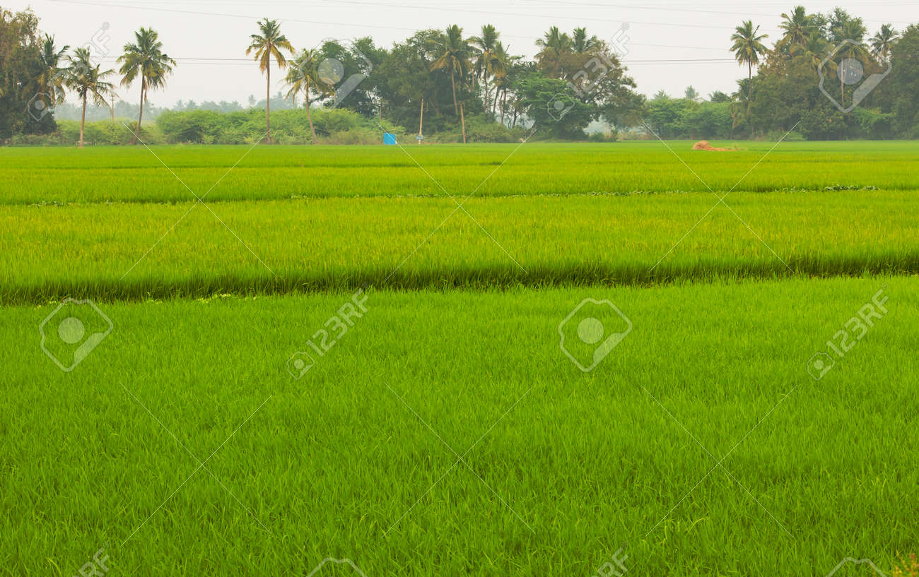 Beautiful view of vast rice fields in rural area, Tamil Nadu, India. View of paddy fields. Selective focus - 164966657