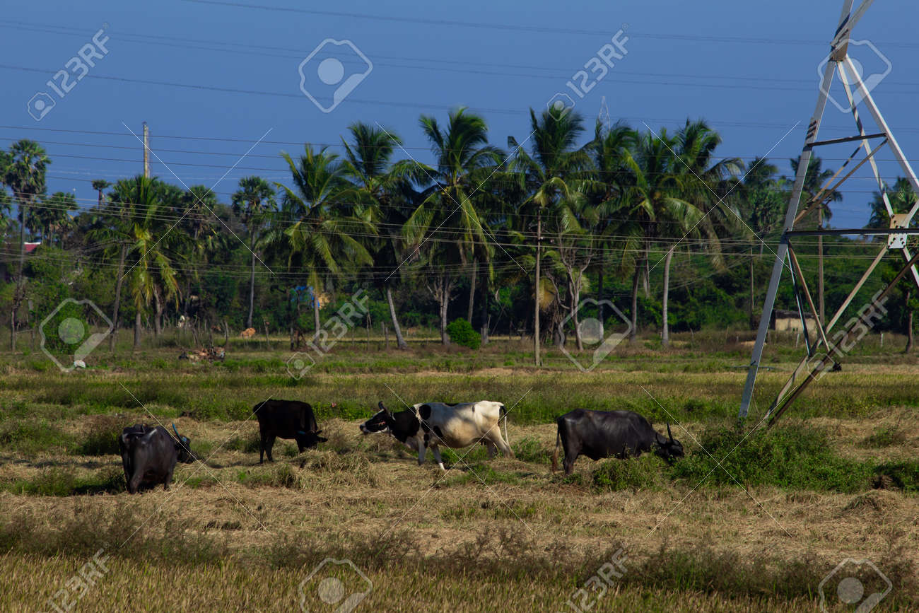 Herd of buffalo and cows grazing on a harvested paddy field. Selective focus - 165419581