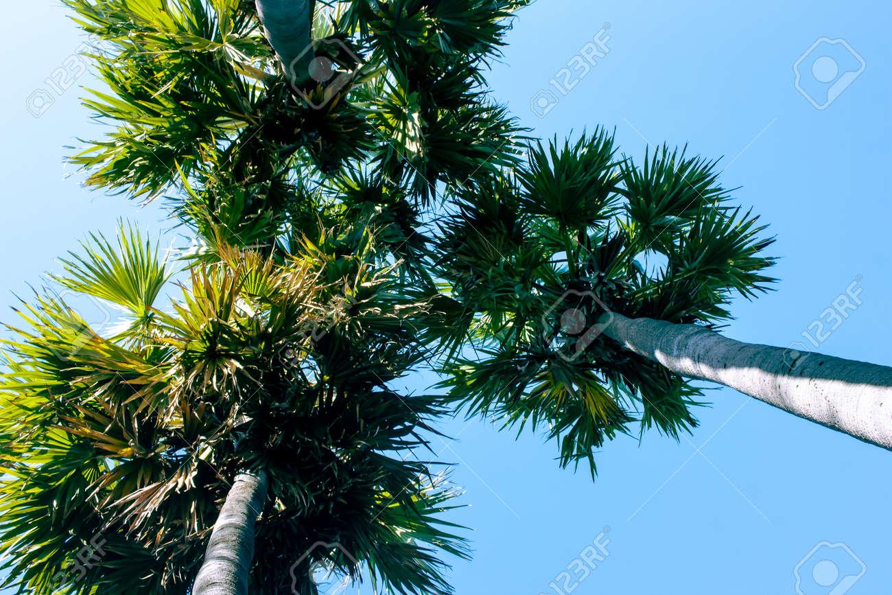 Palmyra palm trees with blue sky background in Mahabalipuram, Tamil Nadu, India. - 166460362